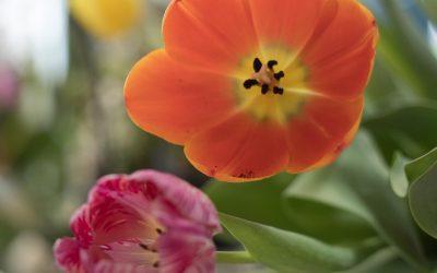 Amos-Fleurs-Le Port-tulipe