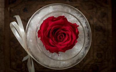 Amos-Fleurs-Rose-Eternelle